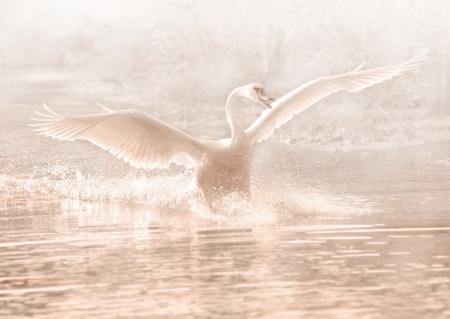 beine spreizen: Trumpeter Swan ausgebreiteten Flügeln in nebligen Morgen. Lateinischer Name - Cygnus buccinator.