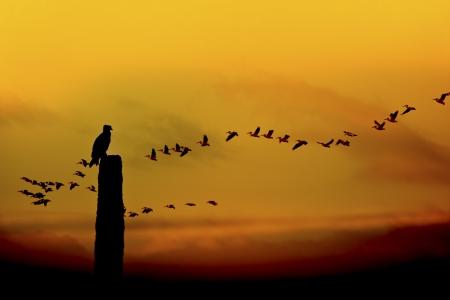 pelikan: Ospreys meets sunrise, flock of white pelicans passing by  Latin name - Pandion haliaetus, Pelicanus erythrorhynchos  Stock Photo