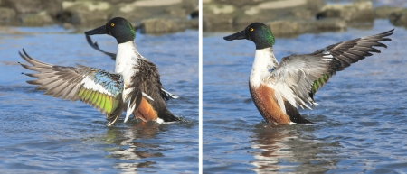 northern shoveler duck: A male Northern Shoveler flopping his wings  Latin name - Anas clypeata