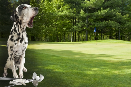 Fore  Dalmatian warning golfers on golf course Focus on dog  Stock Photo
