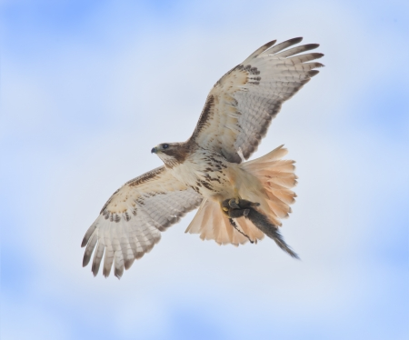 curve claw:  Red-tailed Hawk with catch rushing to nest to feed youngsters . Latin name-Buteo jamaicensis.
