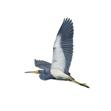Tri-colored heron in flight, isolated. Latin name - Egretta tricolor. Stock Photo - 14976160