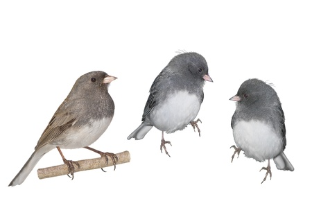 ornitology: Dark-eyed Junco, white winged. Two males and one female, isolated on white. Latin name - Junco hyemalis.