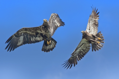 spread eagle: American Bald Eagle, juvenile, couple soaring. Haliaeetus leucocephalus. Stock Photo