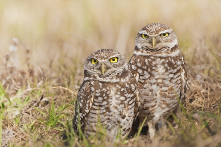 spot the difference: Cute couple. Burrowing Owl. Latin name - Athene cunicularia. Stock Photo