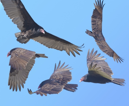beak vulture: Looking for prey Turkey Vulture in flight . Latin name - Cathartes aura. Stock Photo