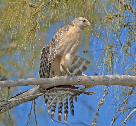 curve claw: Red-shouldered Hawk stretching his wings  Latin name-Buteo lineatus  Stock Photo