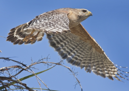 curve claw: Red-shouldered Hawk just took off  Latin name-Buteo lineatus  Stock Photo