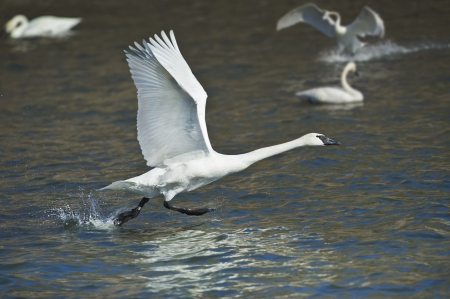 Trumpeter swan taking off  Latin name - Cygnus buccinator  photo