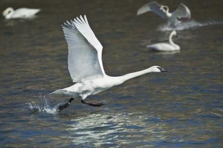 trumpeter swan: Trumpeter swan taking off  Latin name - Cygnus buccinator  Stock Photo
