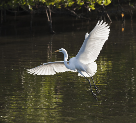 water's: Great Egret landing. Latin name - Ardea alba.