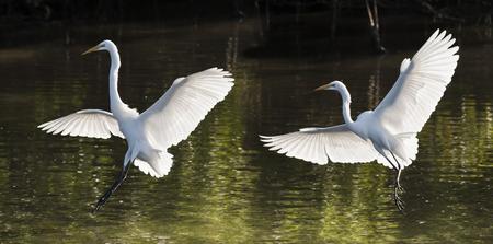 bird wings: Great Egrets landing. Latin name - Ardea Alba Stock Photo