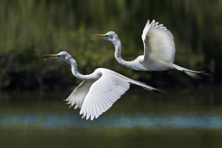 and egrets: Great Egrets flying