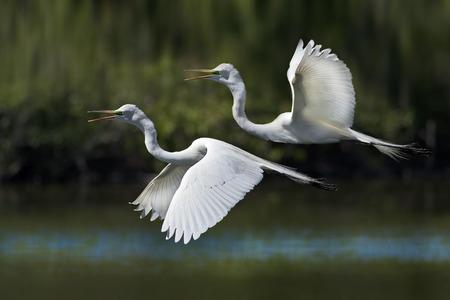 breeding ground: Great Egrets flying