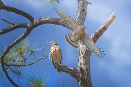 curve claw: Red-shouldered hawks. Latin name - Buteo lineatus.