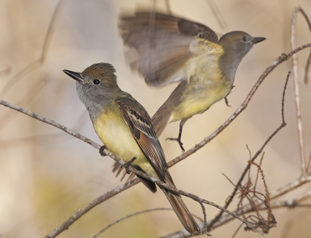 ornitology: Great Crested Flycatcher, two. Latin name Myiarchus crinitus.