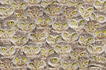 burrowing: Burrowing Owls group portrait. Latin name - Athene cunicularia.