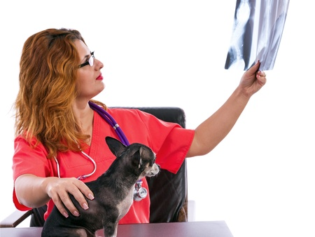 Veterinarian doctor examining a Chihuahua's radiography on white background photo
