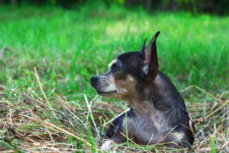 Portrait of chihuahua dog sitting in the summer garden photo