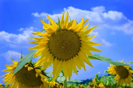 field of blooming sunflowers on a background of blue sky  photo