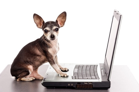 Portrait of a chihuahua dog in front of a laptop on white background Stock Photo - 21053146