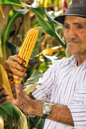 Portrait of an old man harvesting corn photo