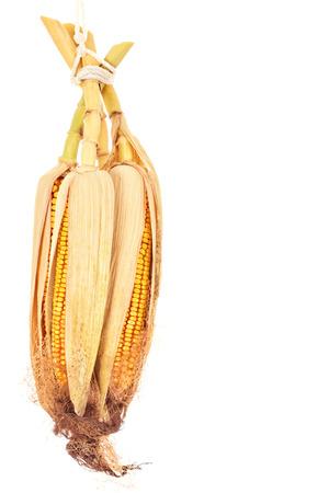 corn stalks:  Corn isolated on white background