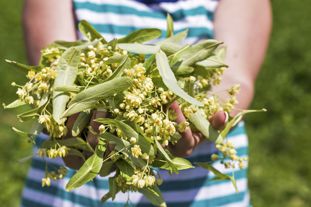 Closeup of woman hands holding  linden flowers photo