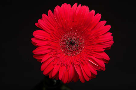 gynoecium: Big red gerbera daisy bud closeup isolated on black background Stock Photo