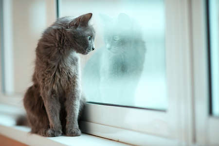 russian blue: Russian blue cat with its reflection in the window