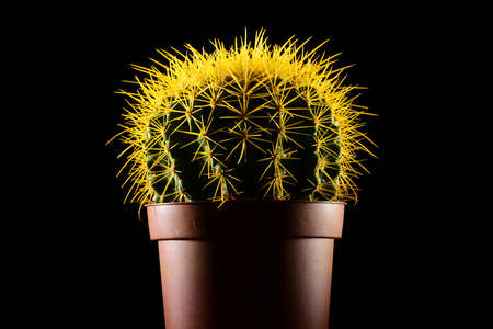potted plant cactus: Yellow spiked round-shaped cactus in pot isolated on black background