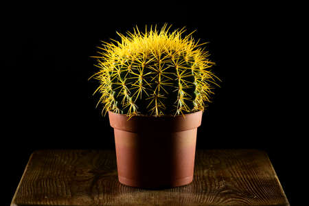 flower thorns: Yellow spiked round-shaped cactus in pot standing on the wooden table