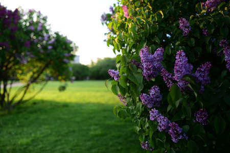 Blooming lilac bush in the garden with a grass field in the background Stock Photo