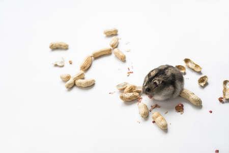 Hamster eating peanuts