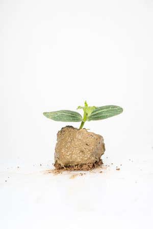luffa: luffa seedling