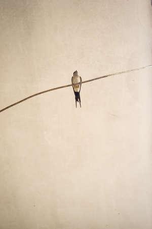 swallow bird: Swallow - Bird Stock Photo