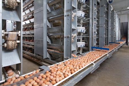 egg farm Archivio Fotografico
