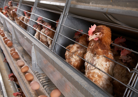factory farm: chicks eating feed