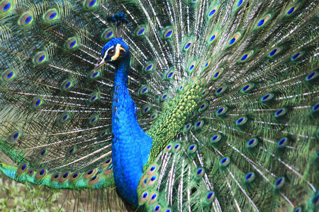peahen:  blue peacock with colorful and beautiful  open feathers