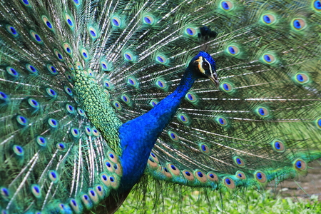 phasianidae:  blue peacock with colorful and beautiful  open feathers