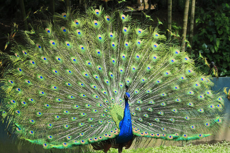 blue peacock with colorful open  beautiful  feathers