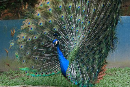 blue peacock with colorful open feathers filling the entire frame.
