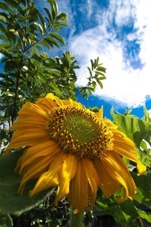 Beautiful     big     chrysanthemum    flowers   on     blue      sky   photo