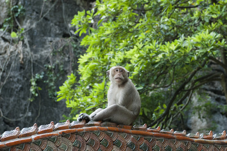sciureus: Monkey