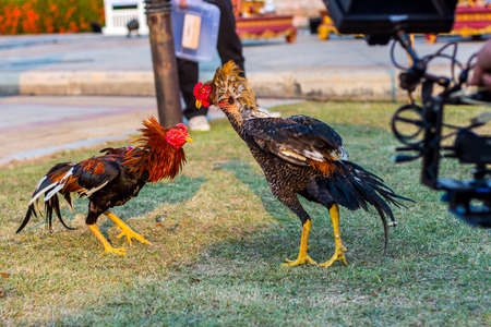 Beautiful asian rooster trained for cockfighting in Kachanaburi Thailand. Stock Photo