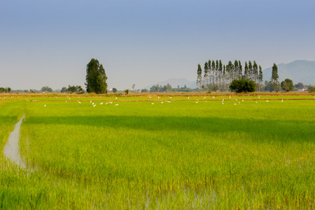 Egres in rice field before sunset in Kanchanaburi Thailand