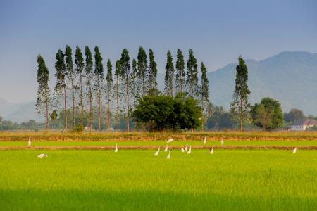 Egres in rice field before sunset in Kanchanaburi Thailand