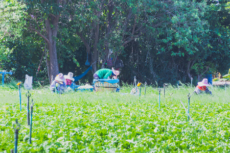 Workers are helping to remove vegetables in the field. Editorial