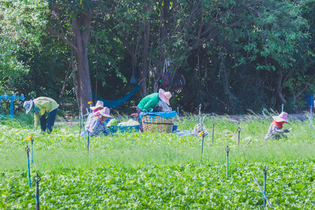 Workers are helping to pick up vegetables in the field.