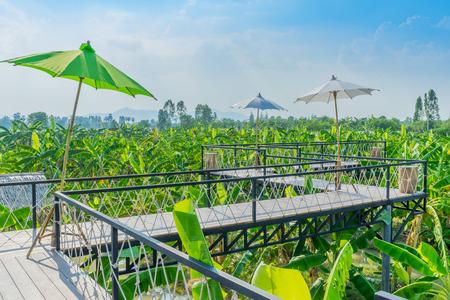 Banana tree plantation in garden in Kanchanaburi Thailand. Stock Photo
